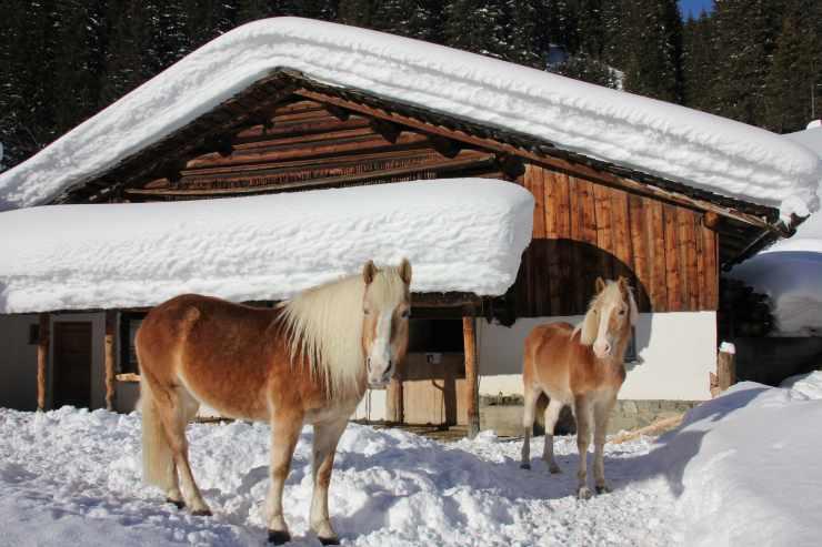 Pferde im Schnee, Reithotel Mateera, Gargellen, Montafon, Vorarlberg