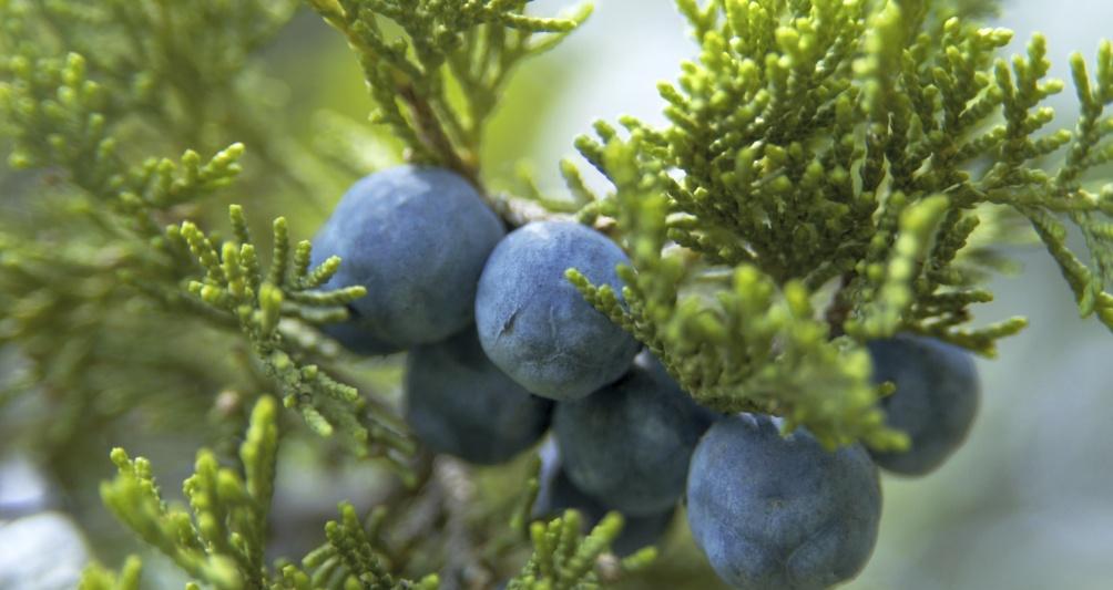 Wachholder Beeren in Gargellen, Familienurlaub und Ferien in Österreich, Montafon